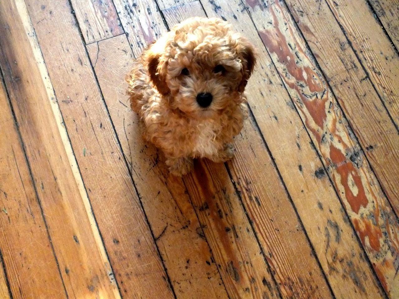 Golden Labradoodle puppy Anka