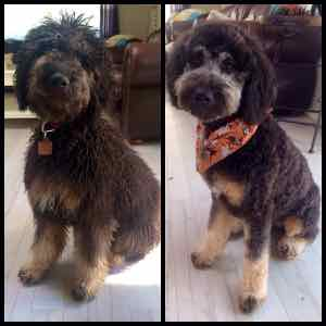 Australian Labradoodles Grooming And Coat Types Over The