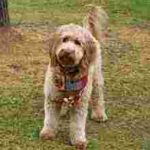 Labradoodle mother Guini standing