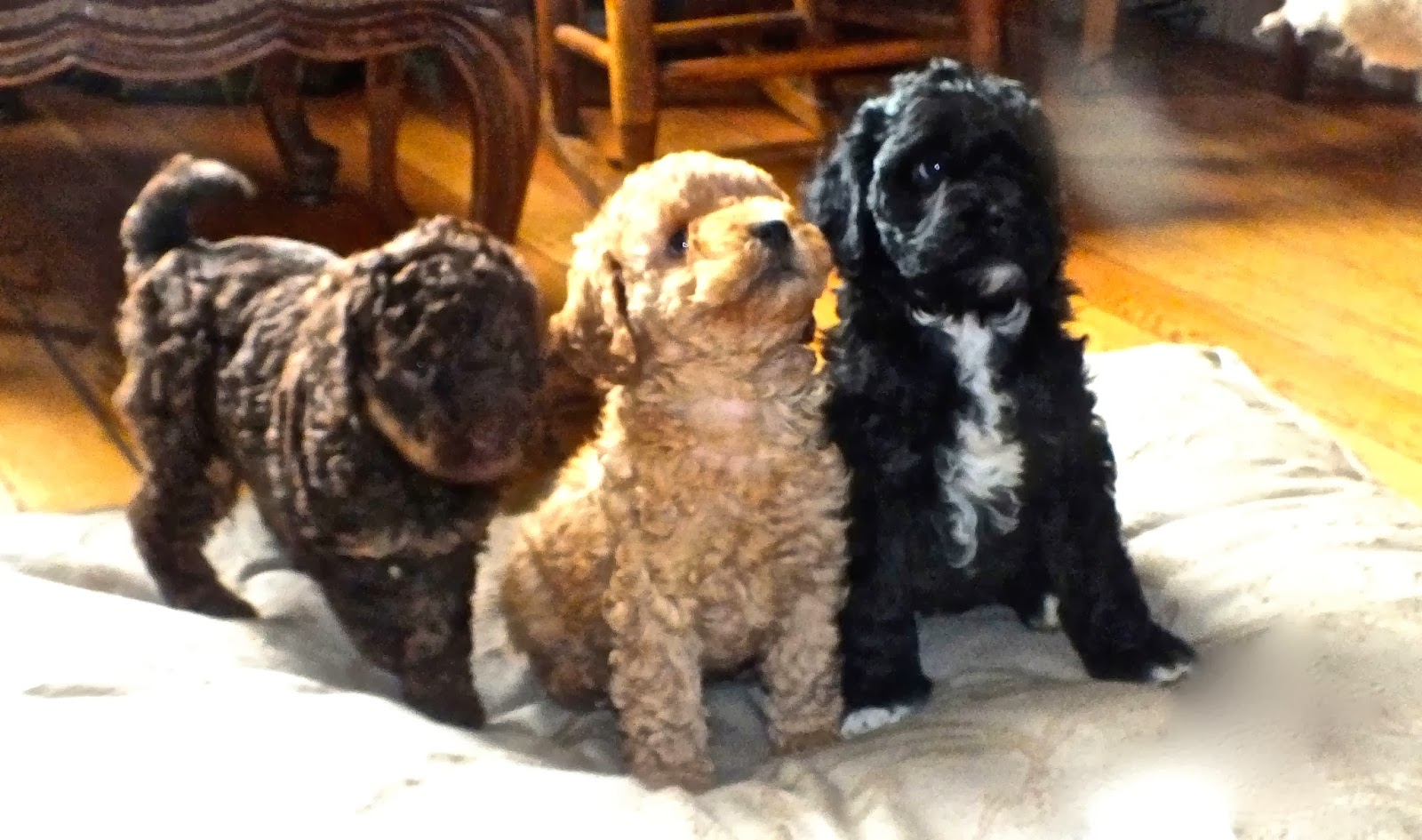 Labradoodle puppies sitting at attention