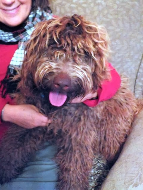 Chocolate labradoodle Sage
