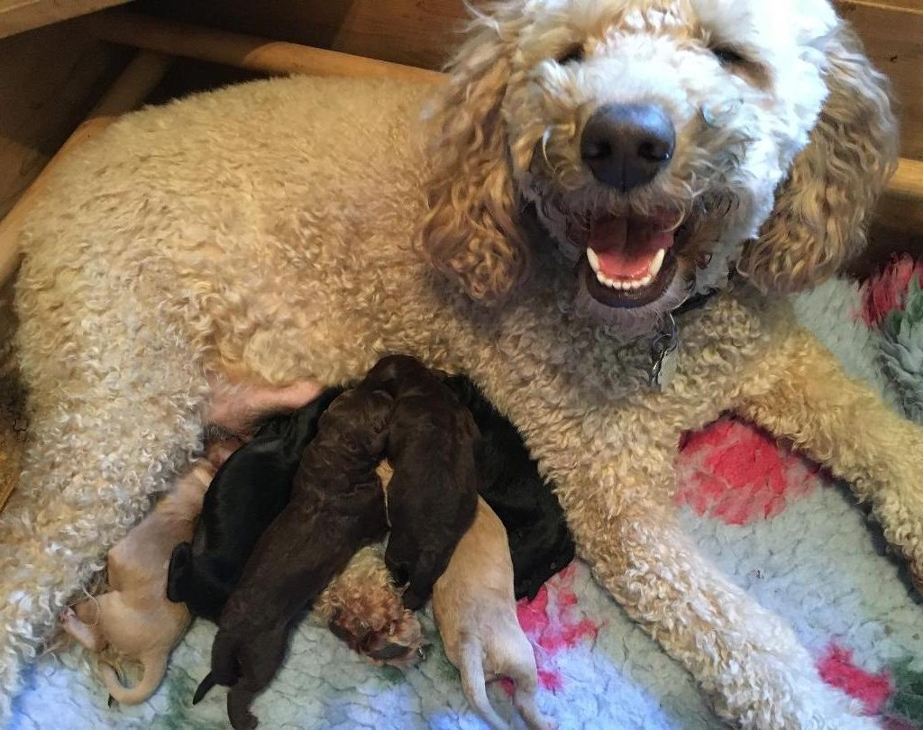 Labradoodle mother and puppies