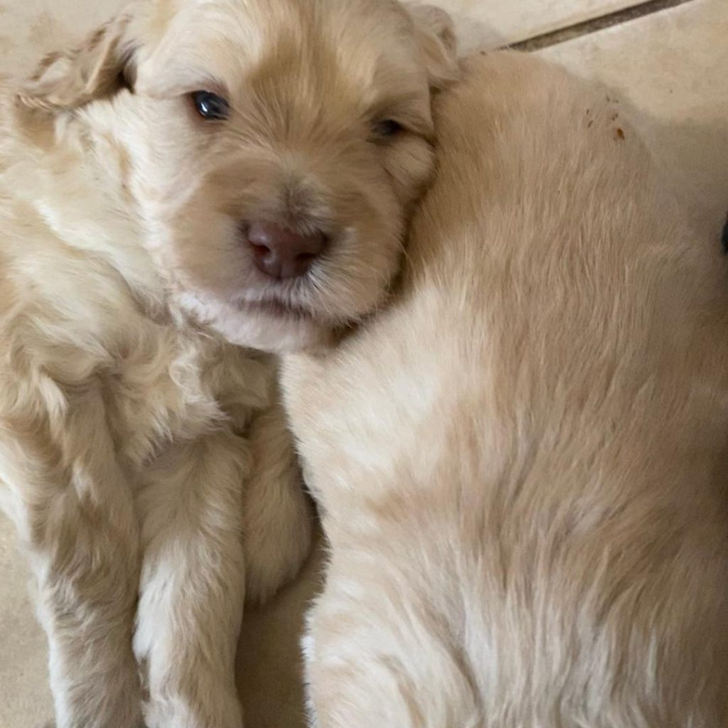 Australian Labradoodle Puppies For Sale Bc Canada