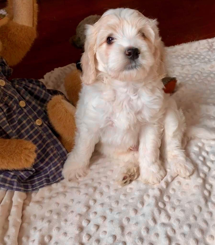 labradoodle 6 week old puppy