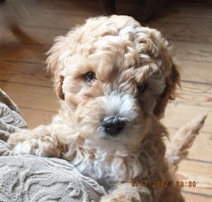 Golden and white labradoodle Birch