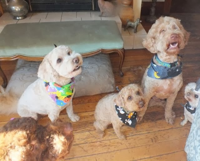 A collection of labradoodles with colourful collars