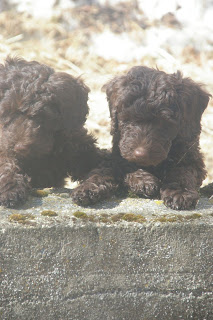 Chocolate labradoodle puppy Cooper