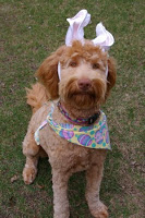 Guinivere mom labradoodle at easter with scarf and pink bunny ears.