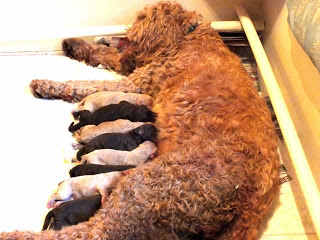Labradoodle mom Guinivere and litter of feeding puppies