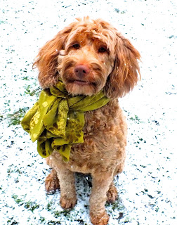 Labradoodle mother Guinivere wearing a scarf
