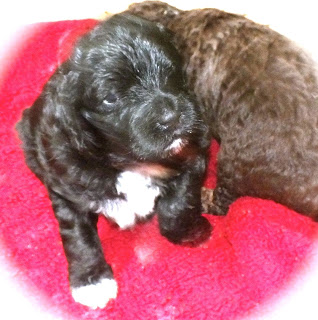 Black and chocolate labradoodle puppies