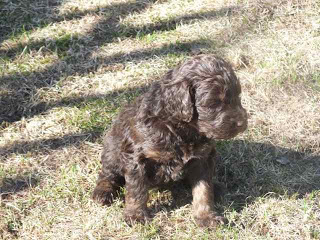 Chocolate labradoodle puppy on the grass
