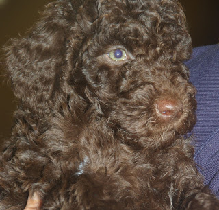 Poppy brown labradoodle puppy
