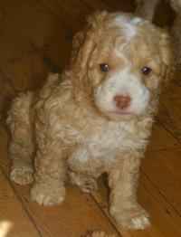 Labradoodle puppy Rambler