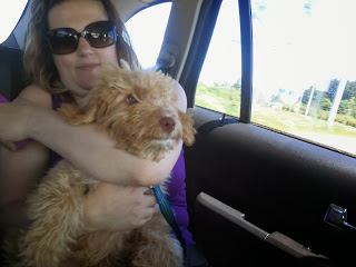 Labradoodle puppy birch on first care ride with Mum