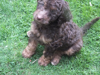 Black and brown labradoodle puppy Tuppence at 8 weeks